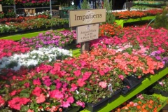annuals-impatients-garden-chicago-500x300