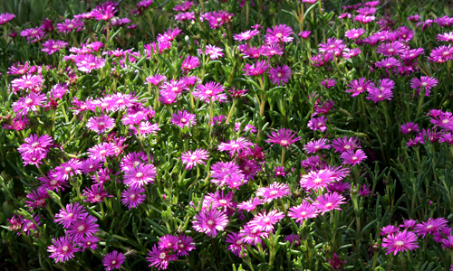 Perennials-ice-plant-pink-500x300