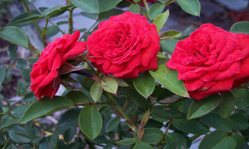 perennial-red-rose-bush-500x300