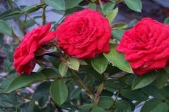 perennial-red-rose-bush-500x300