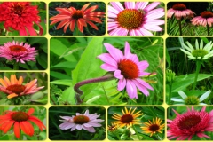 perrenials-cone-flower-echinacea-500x300