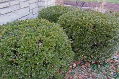 bush-Boxwood-chicago-500x300