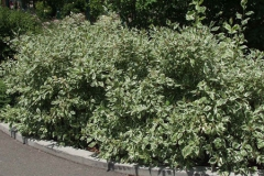 variegated-dogwood-shrub-500x300